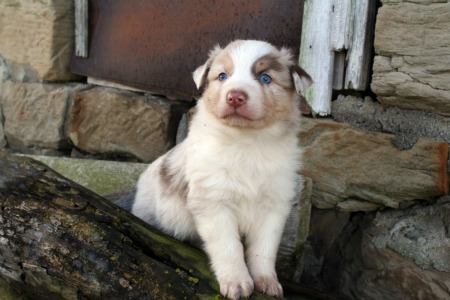 Australian Shepherds Good Cats Australian Shepherd Tips Design ...